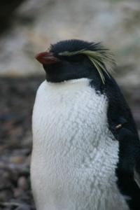 Penguin at Edinburgh Zoo