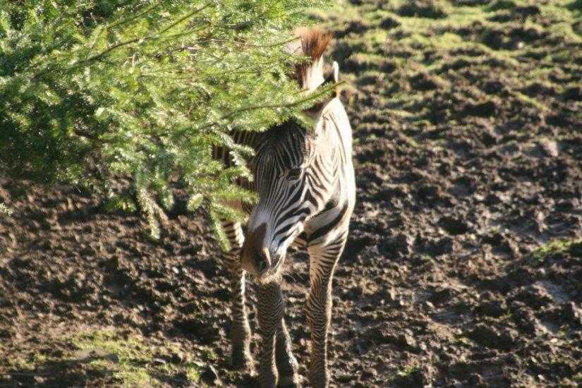 Zebra at Edinburgh Zoo