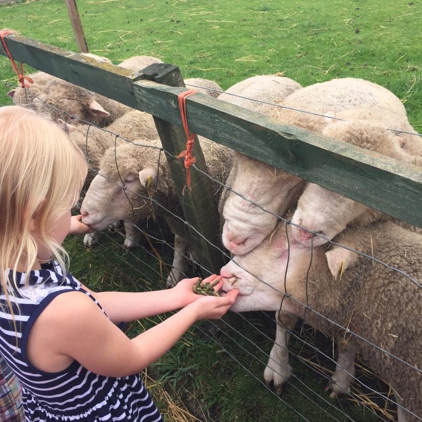 Feeding the sheep at Gorgie City Farm