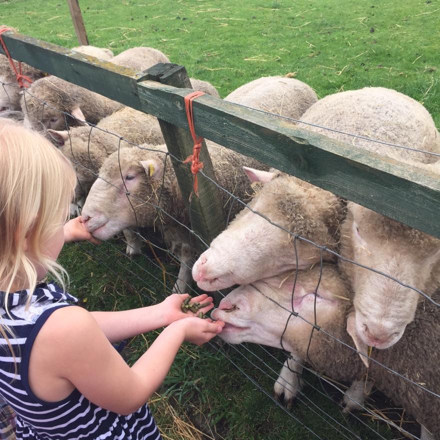Sheep at Gorgie Farm