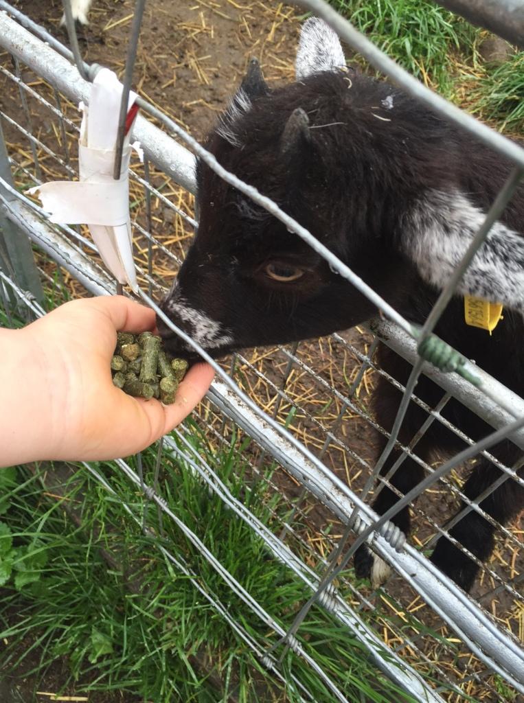 Feeding the goats at Gorgie City Farm