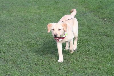 Dixie Lab at The Great British Dog Walk Edinburgh